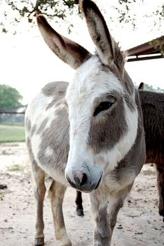I'd love to have a spotted donkey like this one.  Actually, I'd love to breed one to my dark brown babies to have dark spots!