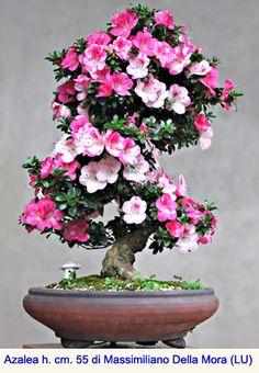 Azalea, bonsai del portamento elegante e dalla fioritura spettacolare
