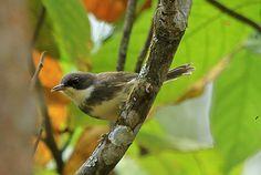 Dohrn's Thrush-babbler or Principe Flycatcher-babbler - endemictoSão Tomé and Príncipe