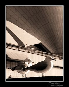 Sydney Opera House birds by Chamelle Photo, via Flickr