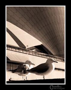 Sydney Opera House birds by Chamelle Photo, via Flickr