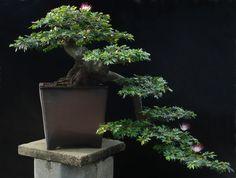 cascade Bonsai | artofbonsai.org • View topic - Tropical Entries