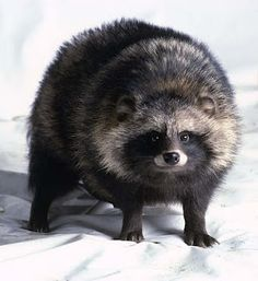 Tanuki, AKA the raccoon dog. NOT related to raccoons