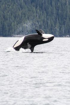 An orca or killer whale breaches in Glacier Bay National Park, Alaska.