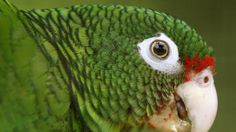 Scientists have released 16 endangered Puerto Rico parrots into the wild amid a growing push to save the U.S. territory's last native parrot species: