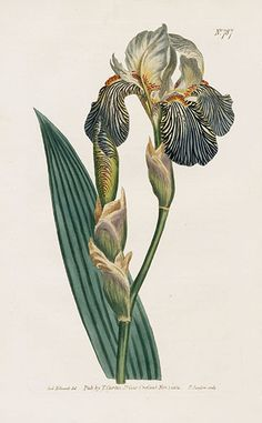 8090 Iris squalens Sims / Curtis's Botanical Magazine, vol. 787 [S. Vintage Botanical Prints, Botanical Drawings, Antique Prints, Art And Illustration, Floral Illustrations, Botanical Flowers, Botanical Art, Iris Art, Nature Prints