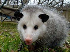 ~ Possum curiosity