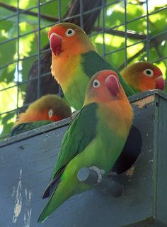 Colorful Lovebirds