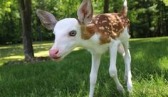 The deer is at a disadvantage in the wild, unable to hide from predators, a fact that its mother instinctually sensed.