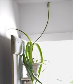 of the Best Indoor Plants to Make Your Home Feel Unique Uncommon indoor plant: the Pregnant Onion (Ornithogalum longibracteatum). Uncommon indoor plant: the Pregnant Onion (Ornithogalum longibracteatum). Small Backyard Gardens, Backyard Garden Design, Modern Backyard, Large Backyard, Indoor Gardening, Container Gardening, Rooftop Garden, Planting Onions, Staghorn Fern