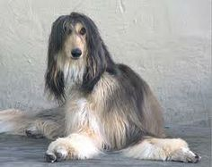 Afghan Hound -- gorgeous color