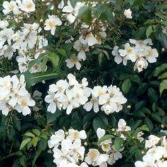 Rosa mulliganii (Rambling Rose)
