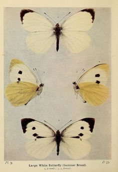 capitu-65:  (via The butterflies of the British Isles. London … | Cabinet of Curios…)