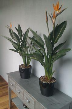 1000 Images About Strelitzia Plants On Pinterest Bird