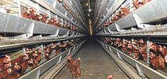 #tavuk kümesi · 20.000 Kapasiteli Freerange Çiftlik | http://etavuk.com/