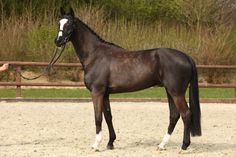 Austin River Breed	Westphalian Year of Birth	2011 Height	169 cm / 16.3 hh Sex	Gelding Color	Black Bay Disciplines	Dressage, Show Jumping, Hunter Price Categorie	B up to EUR 30,000