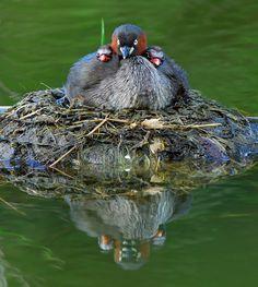 Grebe family on the nest (Australasian grebe | Australische dodaars)