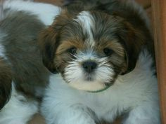 Lhasa Apso Puppy Cute Little Puppies, Cute Little Animals, Cute Puppies, Cute Dogs, Dogs And Puppies, Doggies, Lhasa Apso Puppies, Great Friends, Cute Photos