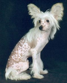 Flash ** white & slate spotted hairless Chinese Crested