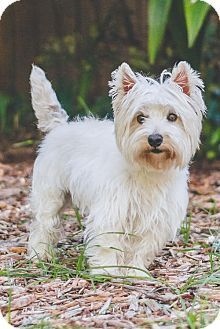 Miami, FL - Westie, West Highland White Terrier. Meet Bartley and Lucy, a dog for adoption. http://www.adoptapet.com/pet/16047440-miami-florida-westie-west-highland-white-terrier