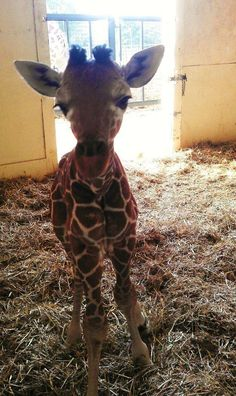 Please Say Hello To This 1-Month-Old Baby Giraffe  #cuteanimals #babyanimals