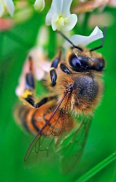 """. With bees dying out, the effect on food production could be catastrophic. Scientists have not reached a consensus regarding the cause, but recent studies strongly suggest a particular class of insecticides is to blame, with other contributing factors. According to a recent article from Slate, """"pollintors have been called the canaries in the coal mine for ecosystem health."""" When bees fail to pollinate, it means bigger trouble than most people realize"""