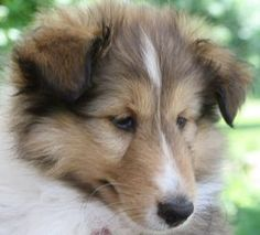 Fannie is an adoptable Shetland Sheepdog Sheltie Dog in Alderson, WV. � Fannie is a female Sheltie Puppy born in March 2013. �She is a sable and white and was headed for the show ring, but she is goin...