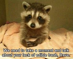 Funny Animal Pictures Of The Day – 18 Pics Racoon, Baby Raccoon, Funny Animal Pics, Animal Captions, Funny Animal Quotes, Funny Pics, Funny Pictures, Cute Funny Animals, Funny Cute