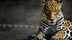 Angry Leopard Face Hd Wallpaper