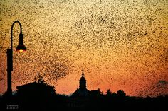 Starlings in Rome - Storni a Roma