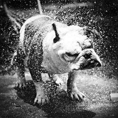 English Bulldog ~ Shake it Bully, shake it! Funny Dogs, Cute Dogs, Dog Shaking, My Animal, Mans Best Friend, Animal Photography, White Photography, Dog Life, Puppy Love