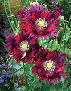 "Poppy 'Drama Queen' Papaver - Purple streaked ruby blooms that are 4-5"" across. Height 3-4'. Reseeds."