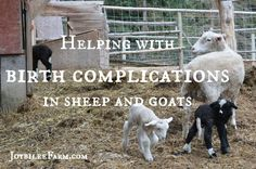Helping with birth complications in sheep and goats -- Joybilee Farm Keeping Goats, Raising Goats, Sheep Farm, Sheep And Lamb, Goat Care, Nigerian Dwarf Goats, Future Farms, Barnyard Animals, Goat Farming