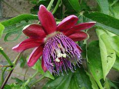 "Passiflora alata ""Ruby Glow""   (Passiflora phonecia)"