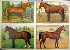 Opetustaulu, hevosrotuja - Board of Education, horse breeds - Finnish horse Printable Art, Printables, Horse Breeds, Finland, Old School, Folk Art, Homeschool, Old Things, Horses