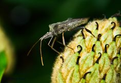 Leaf-footed Bug by Jared Calvert on 500px
