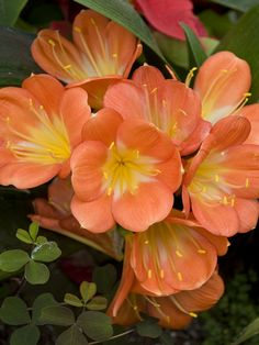 ✯ Clivia .. Clivia is a hardy houseplant that is a member of the lily family. Clivia is a large plant that can grow up to 3 feet tall and 2 to 3 feet in diameter.