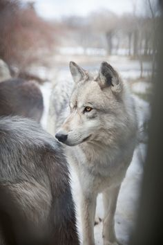 .Wolves are the most intelligent animals in the Kingdom ... they mate for Life.