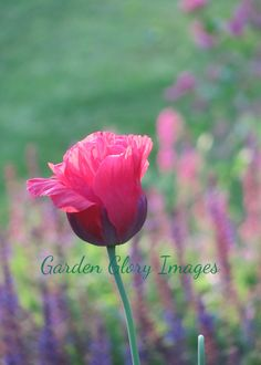 Lovely pink poppy photo in English Garden in Iowa. Such an elegant addition to your wall. https://www.etsy.com/listing/479351950/flower-photo-poppy-flower-photo-nature?ref=shop_home_active_48