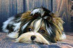 Biewer Terrier Puppy @BiewerWorld.com Rocky Mountain Biewer Terriers