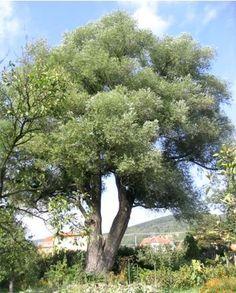 Saule blanc, aubier, saule argenté Salix alba