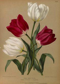 165402 Tulipa / Eeden, A.C. van, Album van Eeden, Haarlem's flora, afbeeldingen in kleurendruk van verschillende bol- en knolgewassen, p. 25, t. 36 (1872-1881)