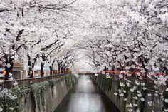 Beautiful tree tunnels around the world ~ Cherry Blossom Trees Over Meguro River in Tokyo, Japan. Cherry Blossom Japan, Cherry Blossoms, Beautiful Places In Japan, Japanese Cherry Tree, Tree Tunnel, Big Photo, Nagasaki, Kamakura, Japan Photo