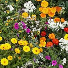 Short Wild Flower Seed Mix - 7.99 Annual varieties in this mix have a spreading or mounding growth form which creates an even, 12 inch tall carpet of brilliant flowers in sunny hues. This Short Annual Wild Flower Mix includes cultivars such as Rocket Candytuft 'Empress', Calendula 'Gypsy Festival', Sweet Alyssum 'Royal Carpet' and Classic Zinnia. This low growing wild flower seed mix works well as an annual ground cover to create a beautiful flower bed.