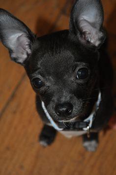 Chihuhua this looks like my little dog :)