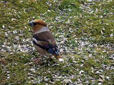 Hawfinch, Bird, Animals, Animales, Animaux, Birds, Animal, Animais