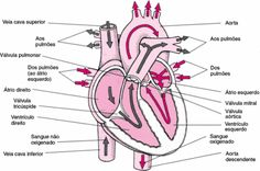 .:: Sistema Circulatório - Só Biologia ::.