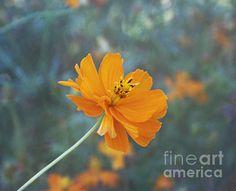 Orange Cosmos by Kim Hojnacki