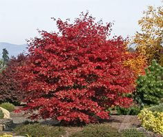 Acer palmatum 'Sherwood Flame' - In its brilliant autumn color