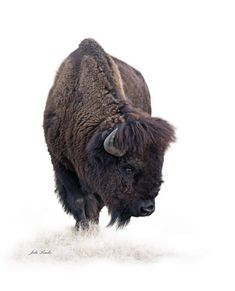 Bison Bull Photography on Canvas